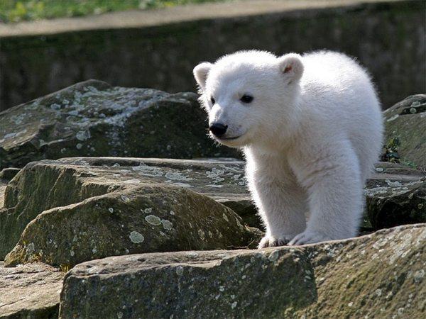 Медведь Кнут